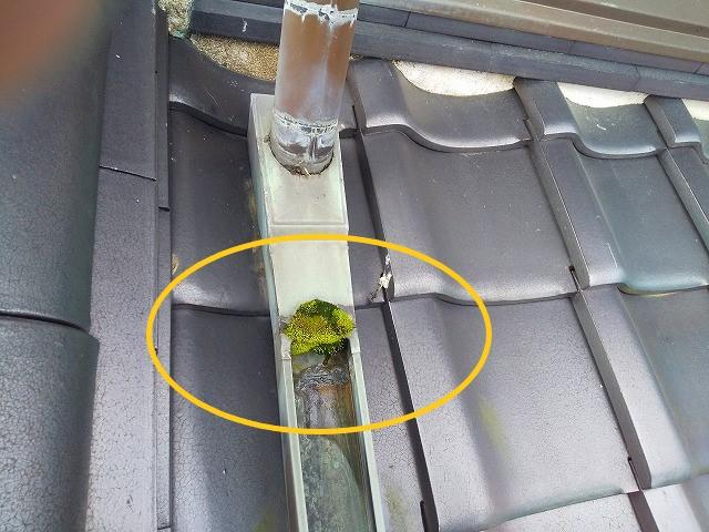 屋根雨樋の苔詰まり
