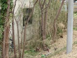 竹伐採作業1