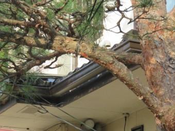 松の木剪定工事