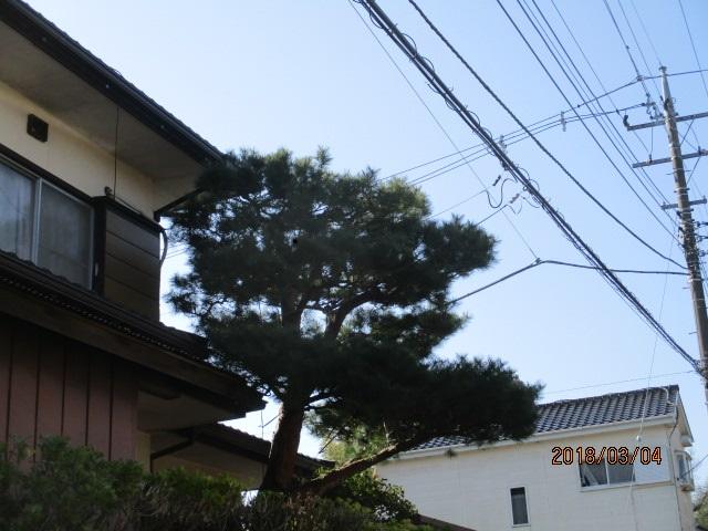 松の木選定