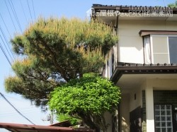 松の木の剪定